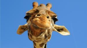 quelle-sorte-de-girafe-etes-vous